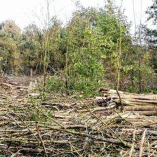 Zieke essen kap in Bosk van Pylkwier